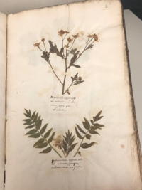 Pages from Jean Seris's Herbarium with dried specimens, 1761